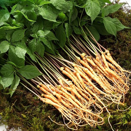 새싹 인삼 특품 30뿌리